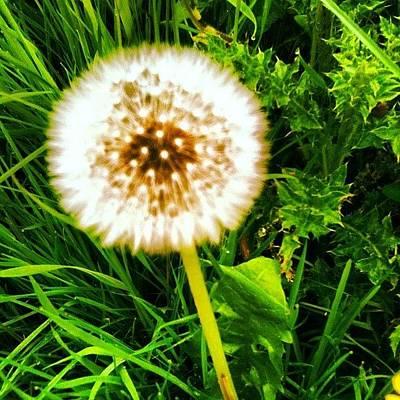 Florals Photograph - Dandelion Dreams by Leigh McAlpine