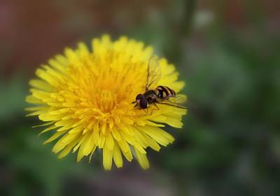 Art Print featuring the photograph Dandelion For Dinner by Lynnette Johns
