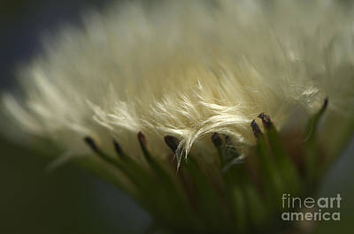 Photograph - Dandelion Glow by Sharon Talson