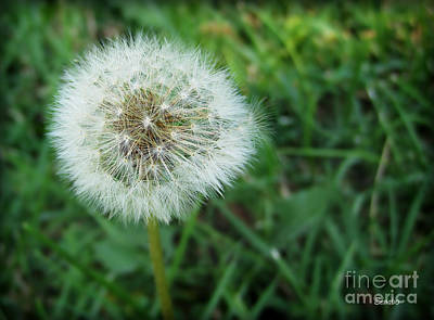 Photograph - Dandelion by Eena Bo