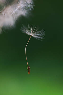 Y120831 Photograph - Dandelion Seed Falling Down by Les Hirondelles Photography