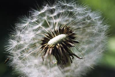 Soft Clocks Photograph - Dandelion Seed Head by Dr. Nick Kurzenko