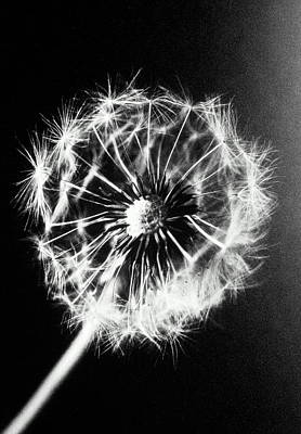 Dandelion Seed Head (taraxacum Officinale), Close-up (b&w) Print by Christian Adams