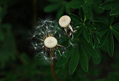 Photograph - Dandelion Seeds by Marilynne Bull