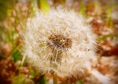 Photograph - Dandelion Seeds Waiting For The Wind 2 by Cindy Wright