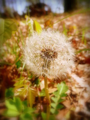 Photograph - Dandelion Seeds Waiting For The Wind by Cindy Wright