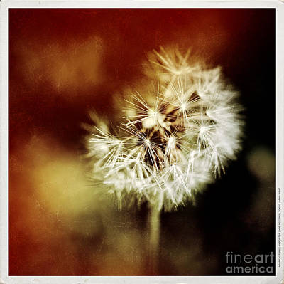 Photograph - Dandelion by Silvia Ganora