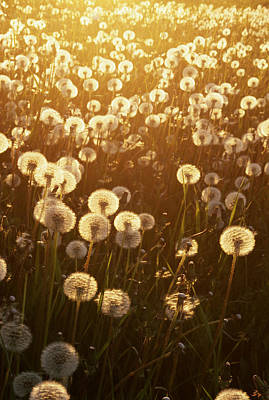 Dandelion (taraxacum Officinale) Sunset, Anchorage, Alaska, Usa Art Print