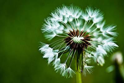Macro Photograph - Dandelion by Toni Johnson