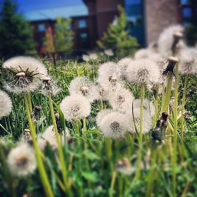 Pathway Photograph - Dandelions #dandelions #weeds #pathway by Tara Hebbes