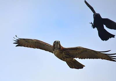 Red Tail Hawk Photograph - Dangerous Skies by Fraida Gutovich