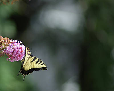Photograph - Dangling Swallowtail Butterfly by Margie Avellino