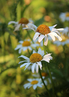 Photograph - Dapper Daisies by Kathleen Holley