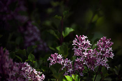 Dappled Light Photograph - Dapple Lilacs by Kelly Anderson