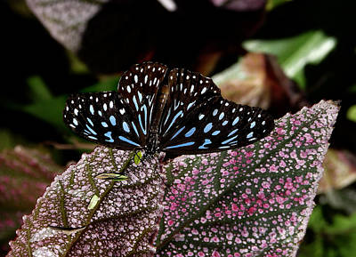 Photograph - Dark Blue Tiger Butterfly. by Chris  Kusik
