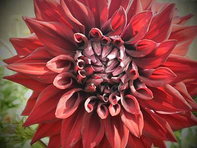Dahlia Photograph - Dark Dahlia by D J Larsen
