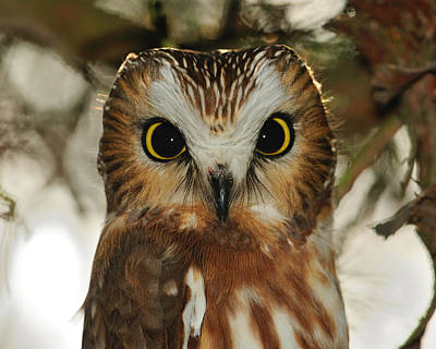 Photograph - Dark Eyes - Saw-whet Owl by Tony Beck