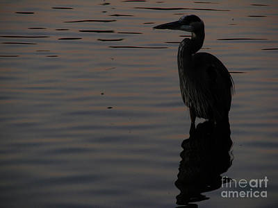 Photograph - Dark Heron by Mark Holbrook