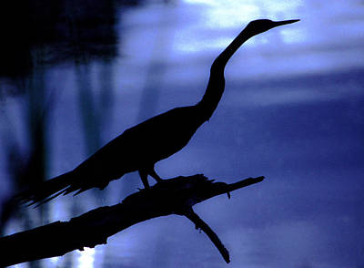 Photograph - Darter Dusk by Alistair Lyne