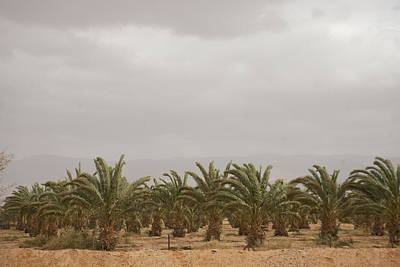 Aqaba Photograph - Date Palm Trees In An Orchard by Taylor S. Kennedy