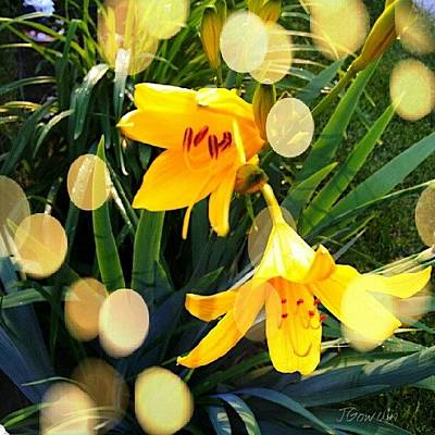 Lilies Wall Art - Photograph - Day Lily. #daylily #lily #lilybuds by Jess Gowan