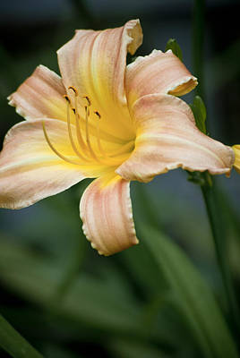 Photograph - Day Lily In Bloom by Jason Pryor