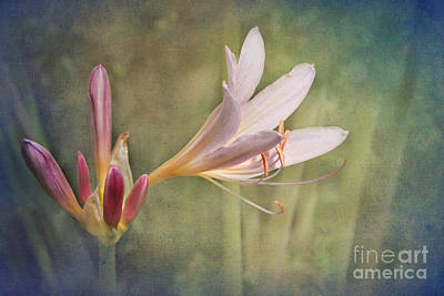 Photograph - Day Lily by Lena Auxier