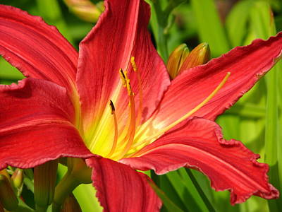 Photograph - Day Lily by Sandra  Rohmann
