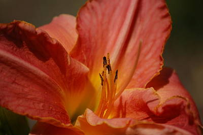 Photograph - Daylilly by Randy J Heath