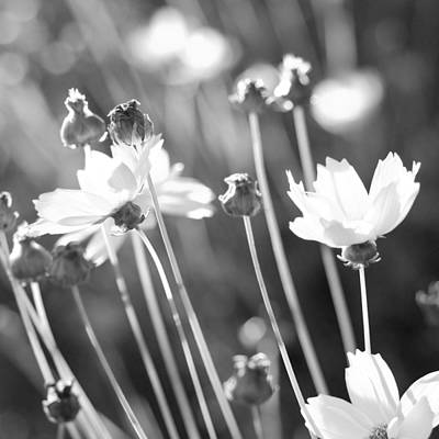 Photograph - Day's End Daisies by Margaret Pitcher