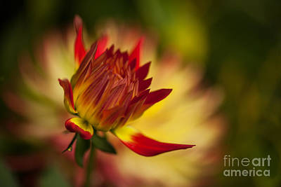 Dahlias Photograph - Dazzling Bloom by Mike Reid