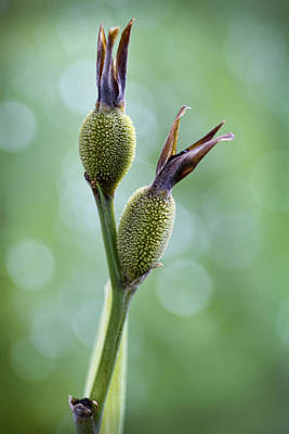 Dazzling Canna Seed Pods Art Print by Kathy Clark