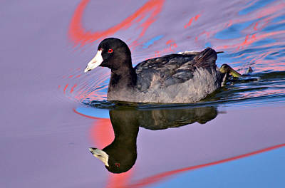 Coot Wall Art - Photograph - Dazzling Coot by Fraida Gutovich