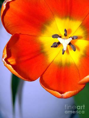 Tulip Pics Photograph - Dazzling Orange Tulip  by Serena Bowles