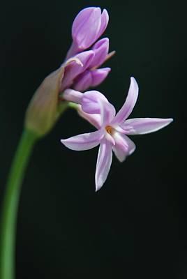 Photograph - Flowering Bud by Tam Ryan