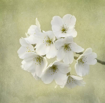 Dc Blossom Print by Kim Hojnacki