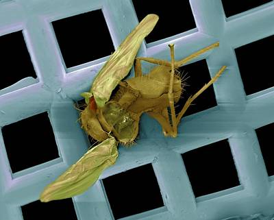 Swatting Fly Photograph - Dead Fly On A Fly Swat, Sem by Volker Steger