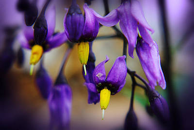 Photograph - Deadly Nightshade 1 by Scott Hovind