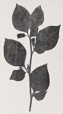 Deadly Nightshade, 19th Century Artwork Art Print by Middle Temple Library