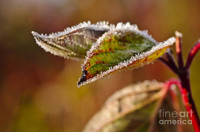 Photograph - Decorated By Jack Frost.... by Christine Kapler