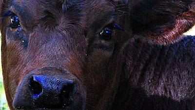 Cattle Photograph - Deep Into My Eyes by Monica Wheelus