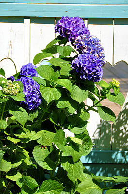 Photograph - Deep Purple Hydrangeas by Jan Amiss Photography