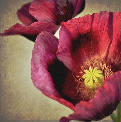 Colored Background Photograph - Deep Red Poppy by Photo - Lyn Randle