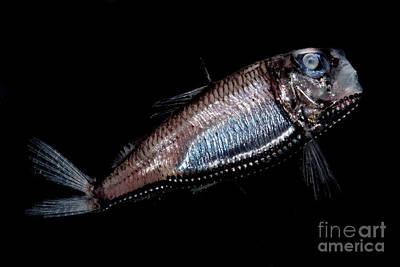 Of Ocean Creatures Photograph - Deep Sea Barreleye by Dant� Fenolio
