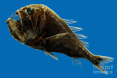 Photograph - Deep-sea Fangtooth by Dante Fenolio