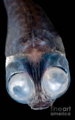Photograph - Deep-sea Google-eye by Dante Fenolio