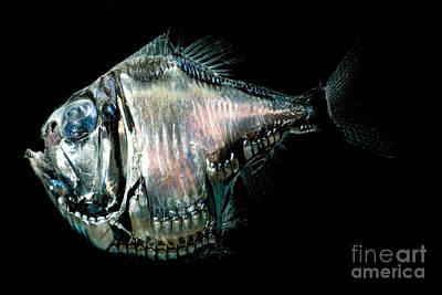 Of Ocean Creatures Photograph - Deep-sea Hatchetfish by Dant� Fenolio