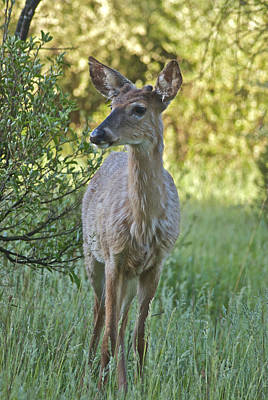 Whitetail Photograph - Deer 5947 0599 by Michael Peychich