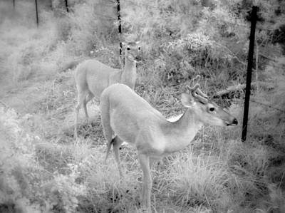 Photograph - Deer 6 In Black And White by James Granberry
