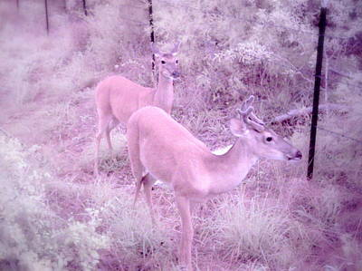 Photograph - Deer 6 In Color by James Granberry